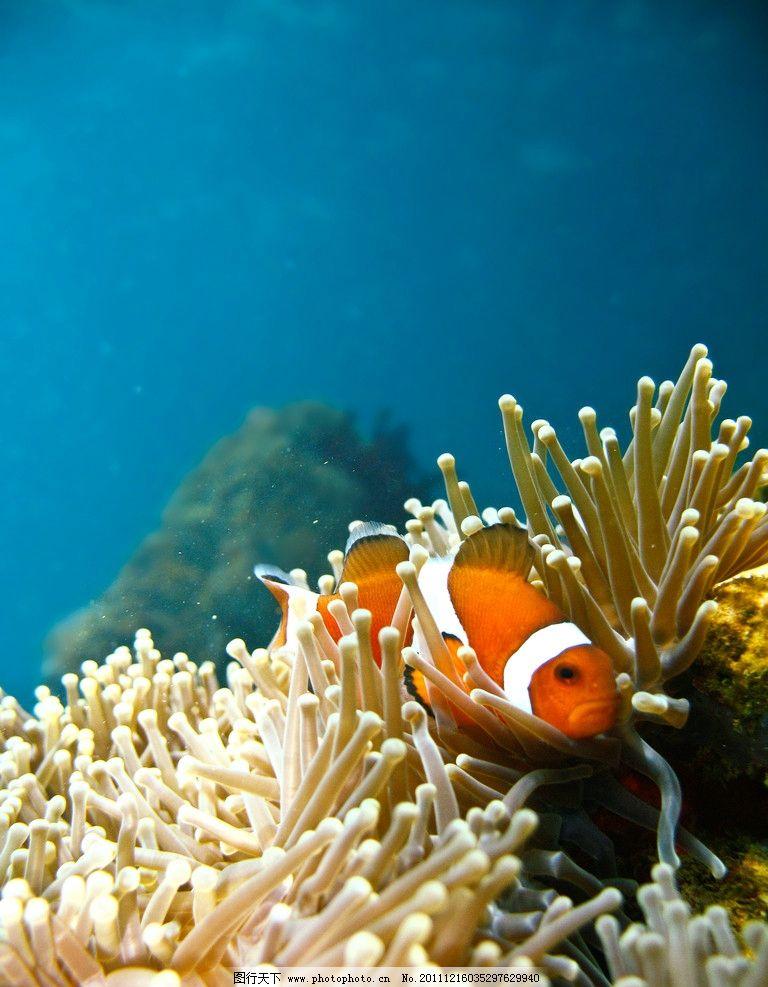 热带海洋珊瑚小丑鱼 水族馆 自由 可爱 欣赏 观赏鱼 海底 海水