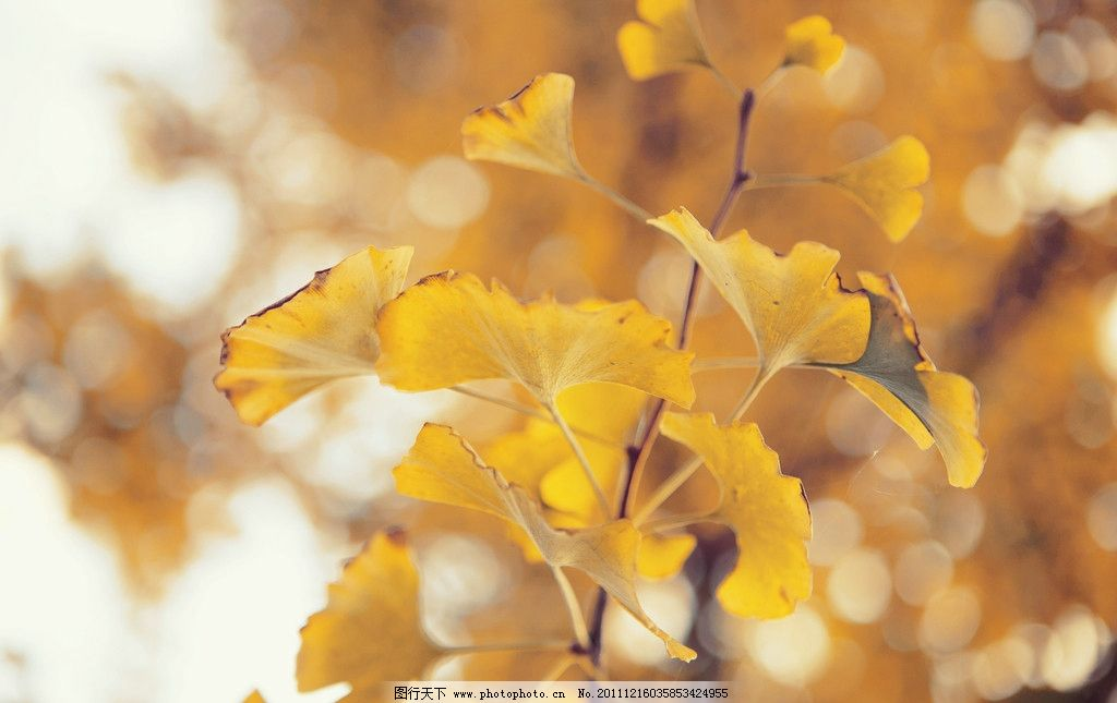 银杏叶 深秋 金黄色 树木树叶 生物世界 摄影 300dpi jpg