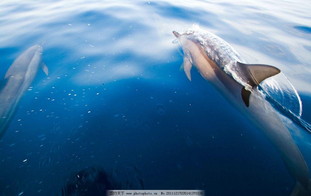 海豚游泳 海豚 游泳 大海 自由 玩耍 嬉戏 追逐 海洋生物 生物世界