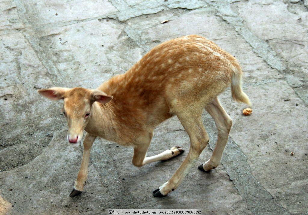 梅花鹿 动物 动物世界 小鹿 白鹿 食草动物 哺乳动物 小动物 野生动物