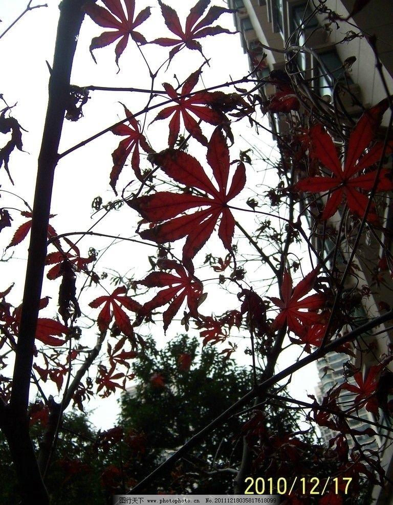 枫叶 冬季 树木树叶 生物世界 摄影 230dpi jpg图片