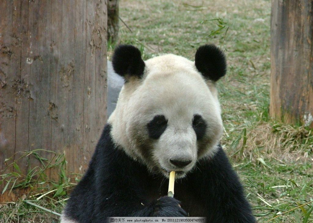 大熊猫 国宝 野生动物 生物世界 动物摄影 摄影 72dpi jpg