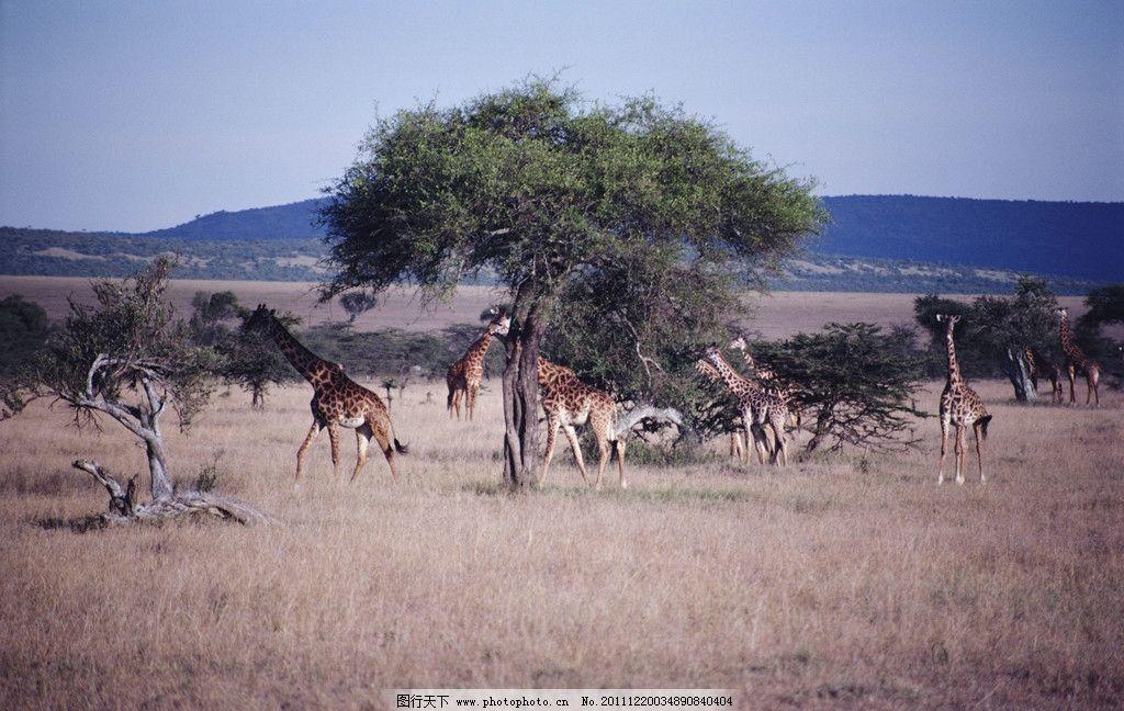 非洲热带草原 远眺 热带草原 树 长颈鹿 动物群 自然风景 自然景观