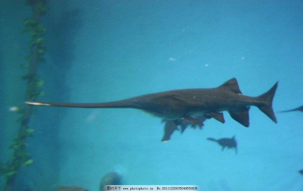 剑鱼 海洋生物 青岛极地世界 动物世界 鱼类 海底 光 蓝色 蔚蓝 海