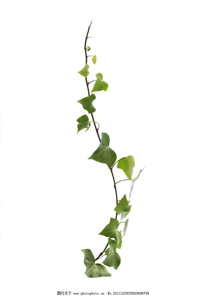 绿叶藤蔓图片图片