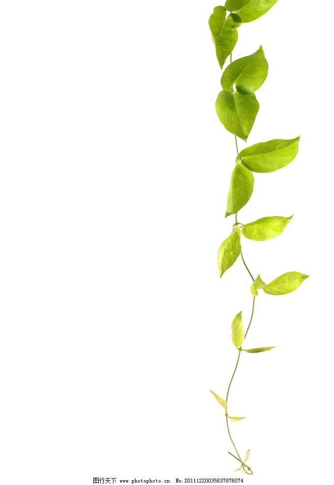 绿色藤蔓图片图片