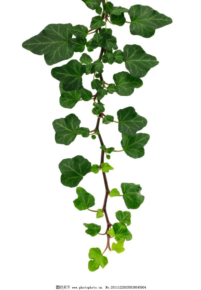 绿色藤蔓图片_树木树叶_生物世界_图行天下图库