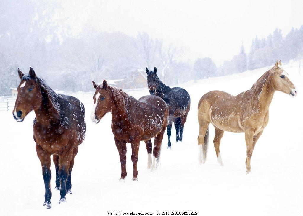 雪地 大雪 骏马 房子 野生动物 生物世界 摄影 300dpi jpg