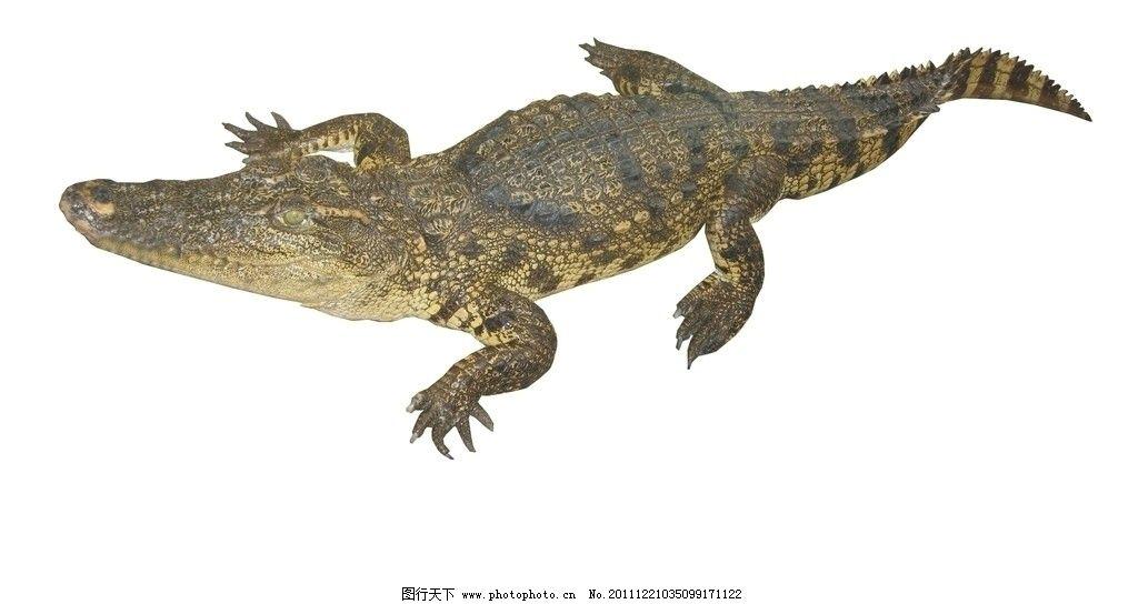 鳄鱼 高清 凶猛 野生动物 生物世界 摄影 300dpi jpg
