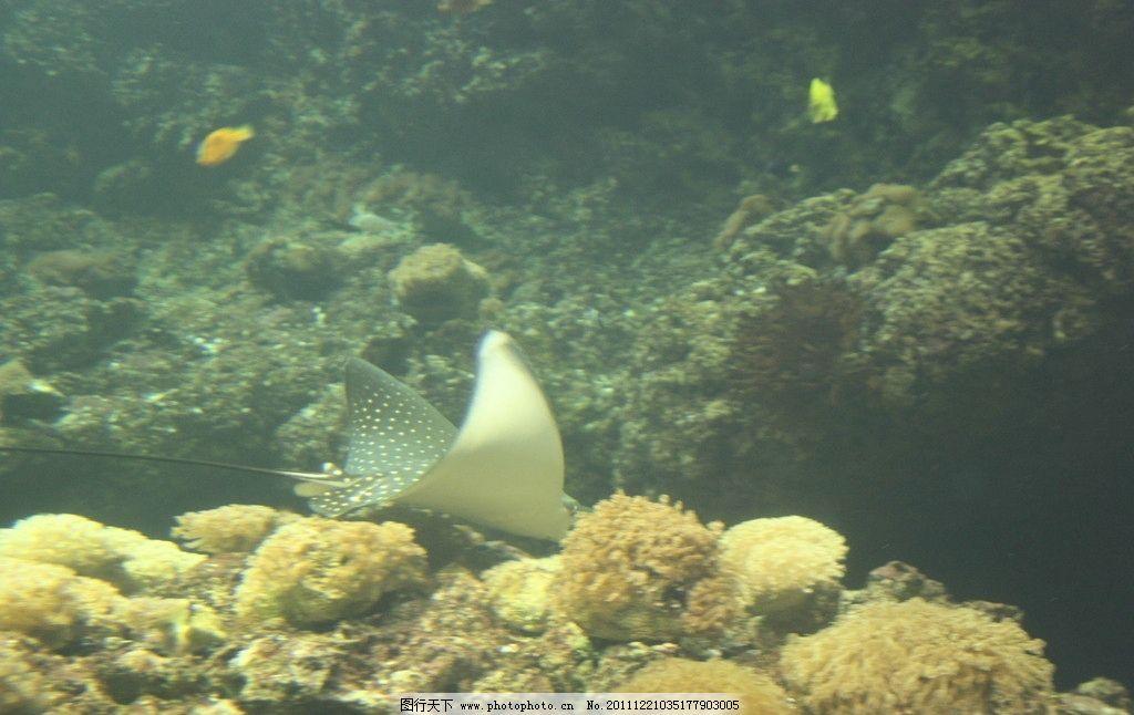 电鱼 海洋动物 扇鱼 翅膀
