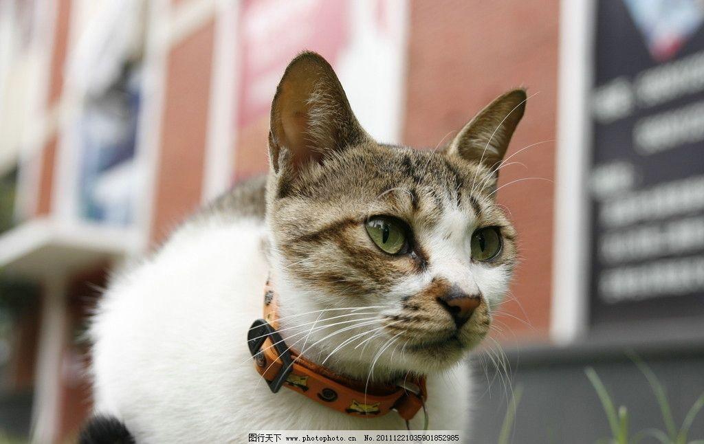 花猫 小猫 猫咪 猫猫 铃铛 摄影