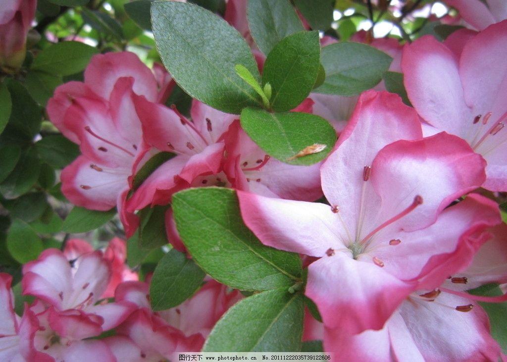 杜鹃 花中西施 映山红 花卉 杜鹃花科 杜鹃花属 花草 生物世界 摄影