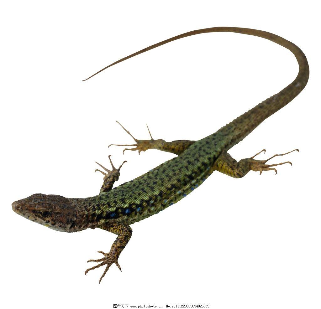 小型蜥蜴 爬行动物 野生动物 生物世界 摄影 300dpi jpg