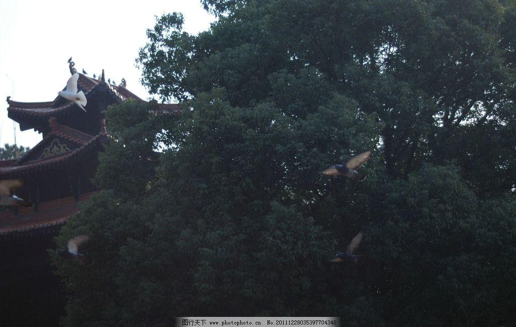 鸽子 白鸽 鸽子屋 秋景 草地 鸟类 生物世界 摄影 300dpi jpg
