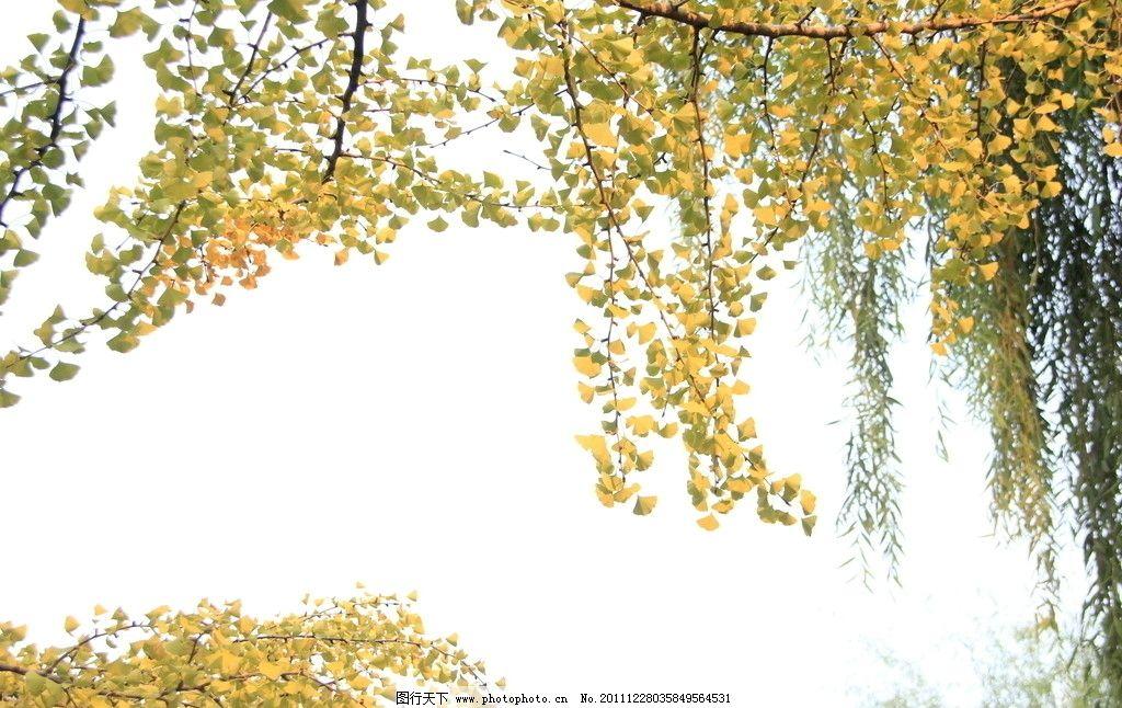 秋叶 树叶 叶子 黄色 秋天 树枝 树木树叶 生物世界 摄影 72dpi jpg
