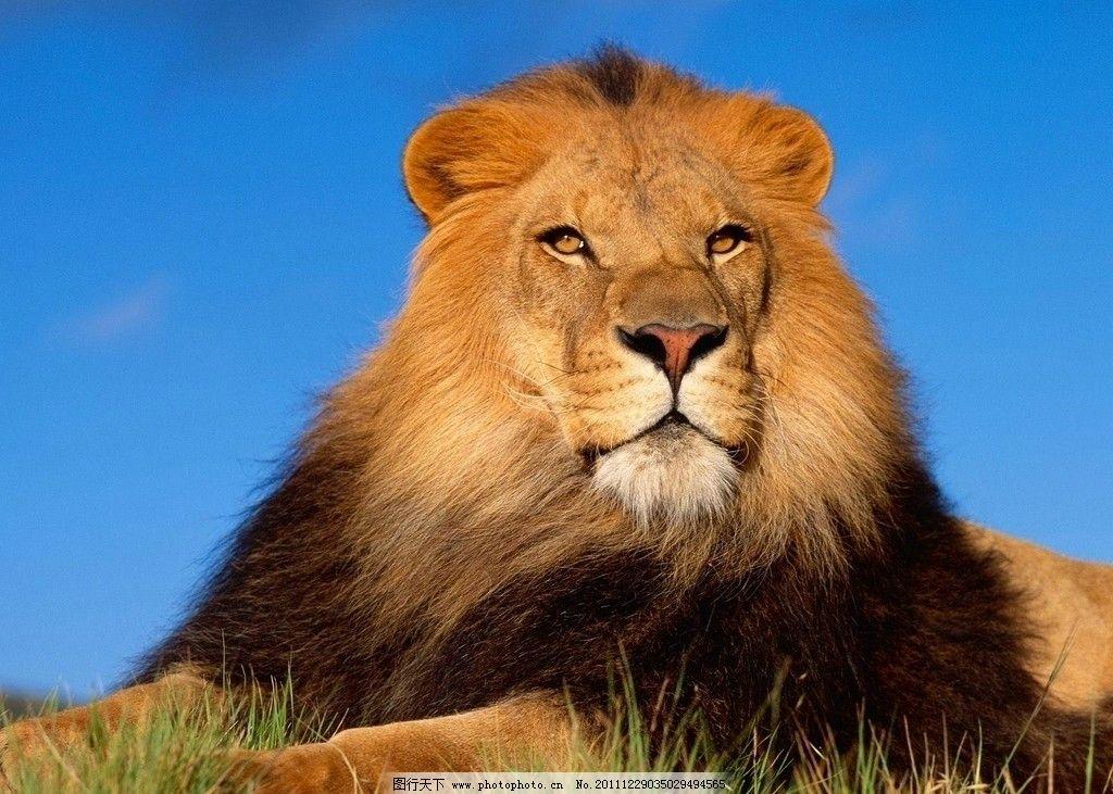 狮子 公狮子 勇猛狮子 动物世界 野生动物 生物世界 摄影 72dpi jpg