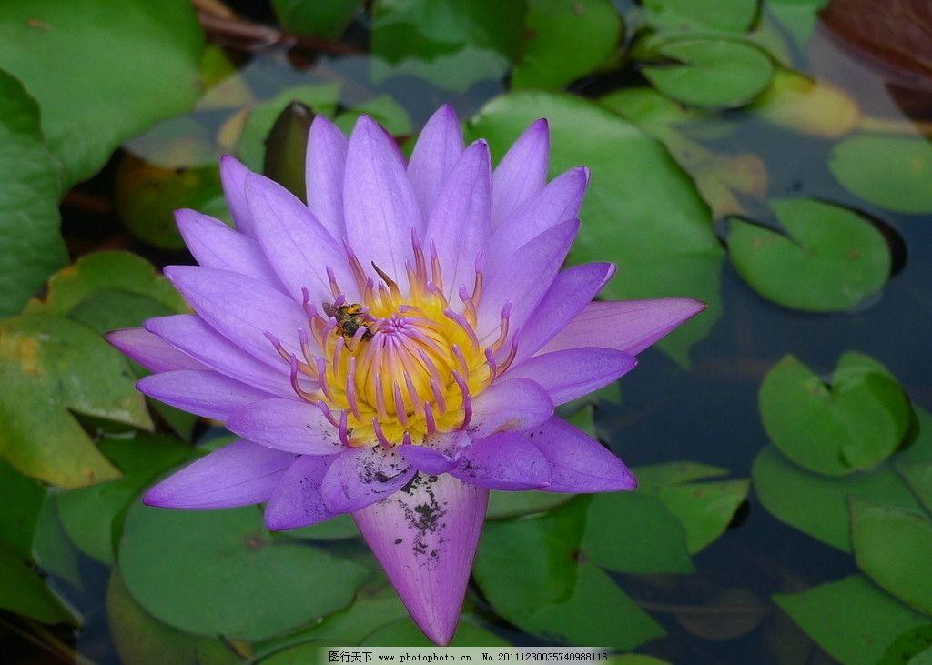 紫色莲花图片